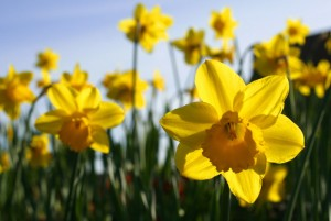 By Alan Cleaver from Whitehaven, United Kingdom (Spring daffodils) [CC BY 2.0 (http://creativecommons.org/licenses/by/2.0)], via Wikimedia Commons