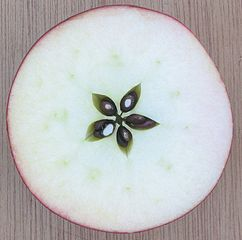 Cross section of a Sterappel apple