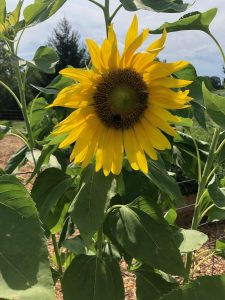 Sunflowers at Long Family Farm
